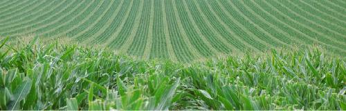Champ de maïs semences Groupe Comptoir Agricole
