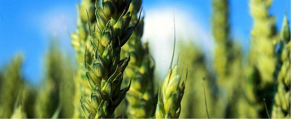 Le plan protéine des blés tendres français