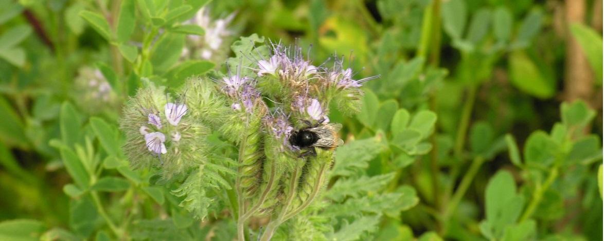 Jachère fleurie avec abeille - La biodiversité vue par Gustave Muller